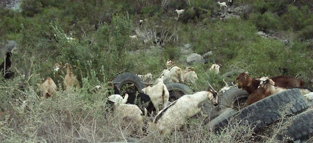 01707038 SCL Maipo Canyon Goats.JPG (60195 bytes)