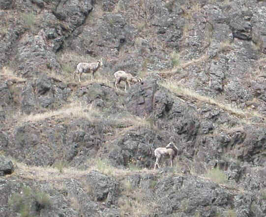 04427017 PDX Big Horn Sheep.jpg (109073 bytes)